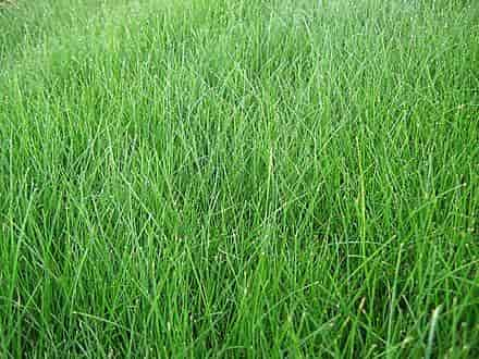 Fescue Grass whitout Deficiencies of Nutrients