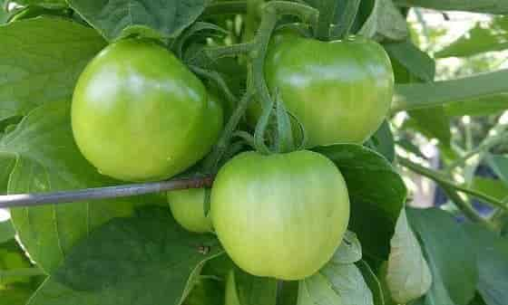 Tomato Fruit Composition - Unripe Tomatoes on the Plant