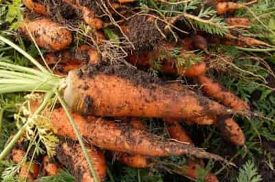 Cultivated Carrot - Carrot roots