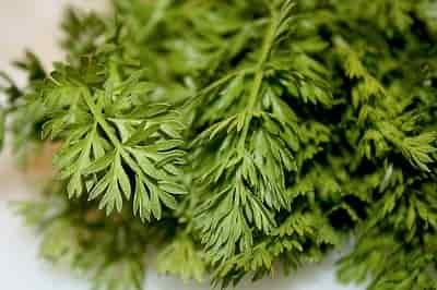 Cultivated Carrot - Carrot leaves