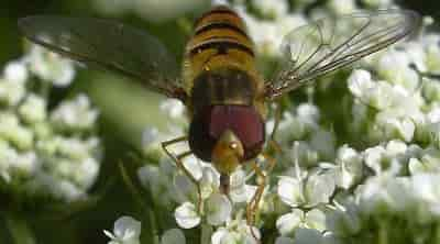 Cultivated Carrot - Carrot, pollination