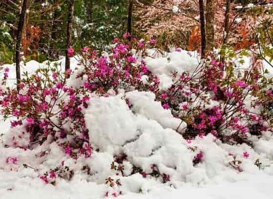 Winter Protection for Azaleas - Azalea Bush Covered by Snow