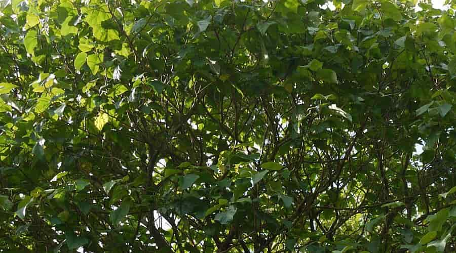 Paulownia fargesii cultivation