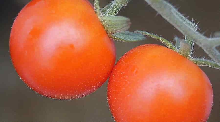Two Mature Tomatoes on the Plant