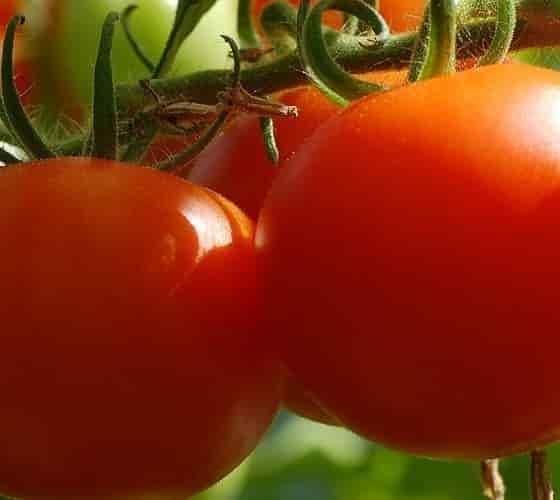Quality Characteristics of Tomato Fruit - Red-Ripe Tomatoes - Credits: Αxelmellin