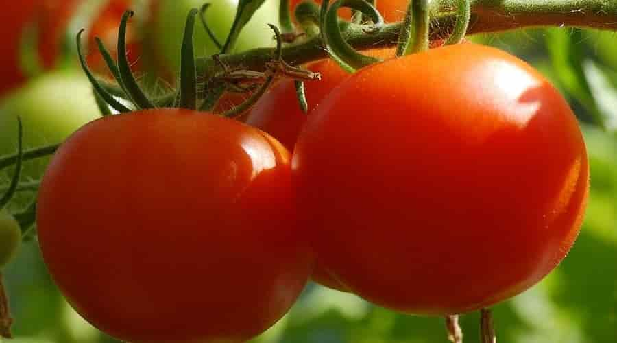 Red-Ripe Tomatoes – Credits: Αxelmellin