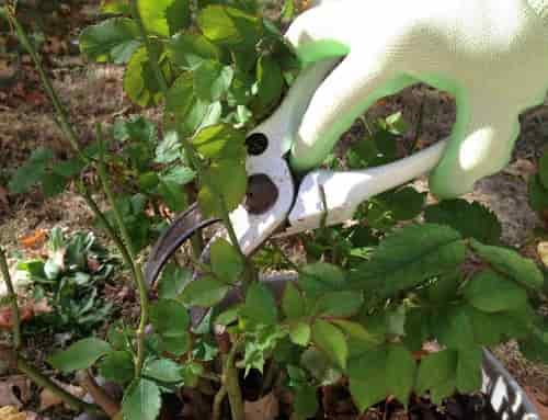 Gloves and Shears for the Winter Rose Pruning