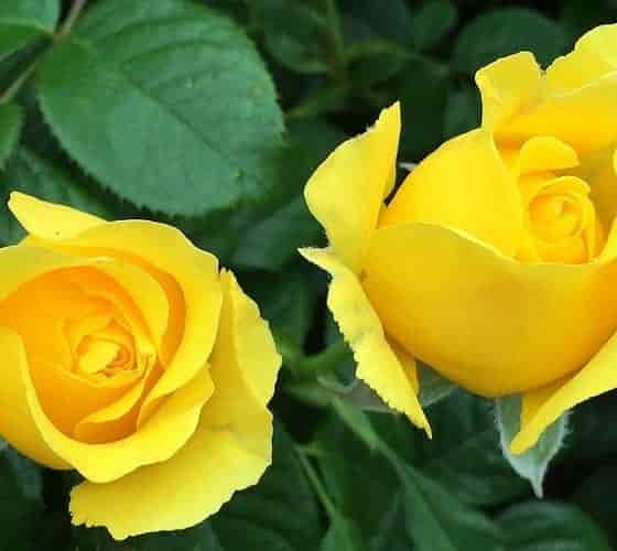 Winter Rose Pruning. Two Yellow Roses - Credits: Pritisolanki