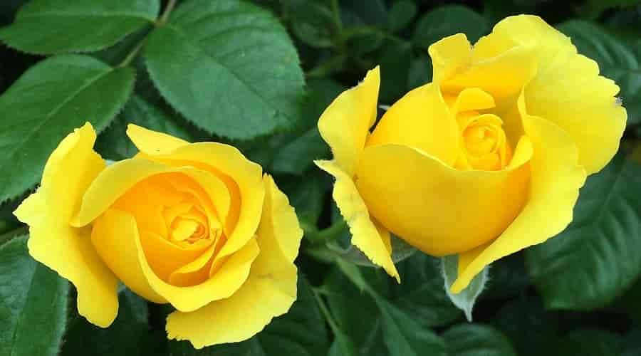 Two Yellow Roses – Credits: Pritisolanki