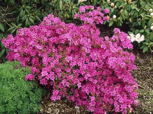 Winter Protection for Azaleas - Azalea 'Encore Autumn Amethyst' Variety