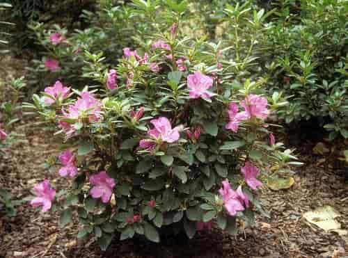 Winter Protection for Azaleas - Cover of Azaleas with Pine Bark for Winter Protection