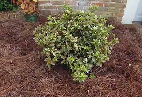 Winter Protection for Azaleas - Azalea Cover with Pine Needles for Winter Protection