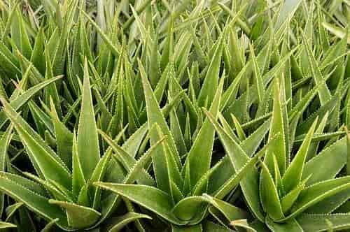 Aloe vera cultivation - Aloe Vera at Short Planting Distances