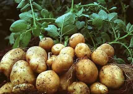 Potato carbohydrates - Potato Tubers with Plants