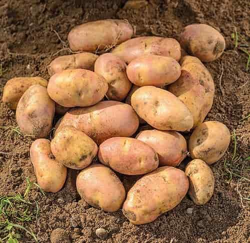 Dietary Fiber In Potatoes - 'Inca Bella' Variety Potatoes