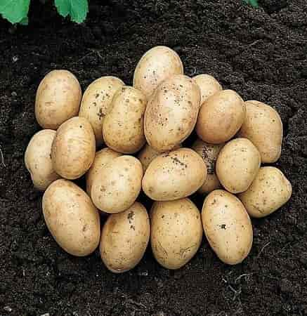 Potato minerals - Potato Variety 'Orla'