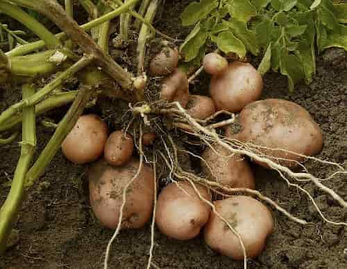 Potato minerals - Potato Tubers Together with Roots in the Plant