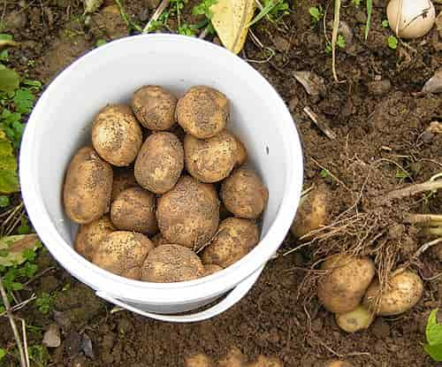 Potato minerals - Potato Harvesting from Home Vegetable Garden