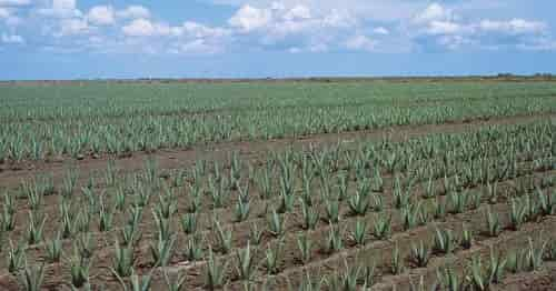 Aloe vera cultivation - Professional Cultivation of Aloe Vera