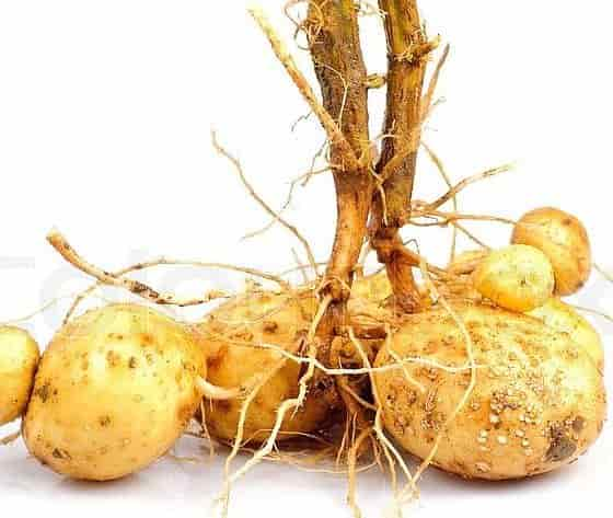 Potato carbohydrates - Potato with Tubers and Part of the Roots