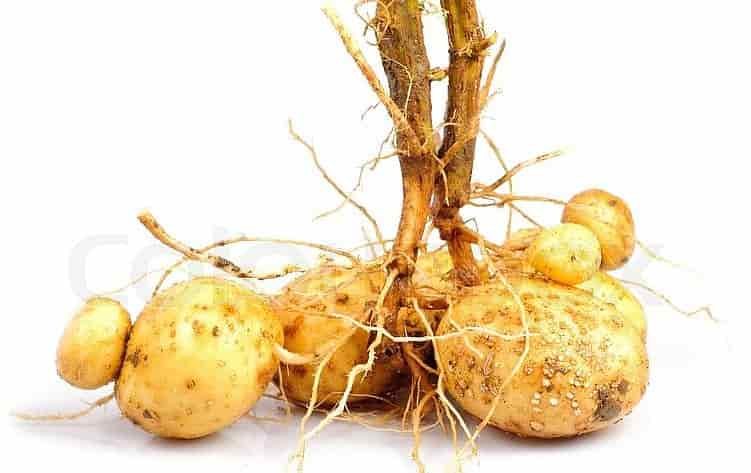 Potato with Tubers and Part of the Roots