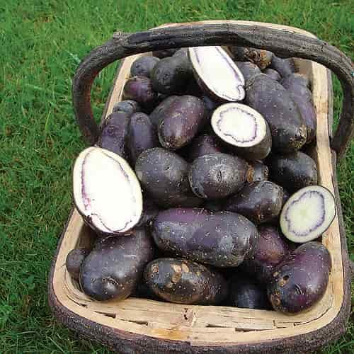 Potato minerals - 'Shetland Black' Variety Potato