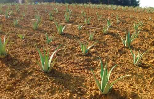 Aloe vera cultivation - Aloe Vera, young plants established in the Field