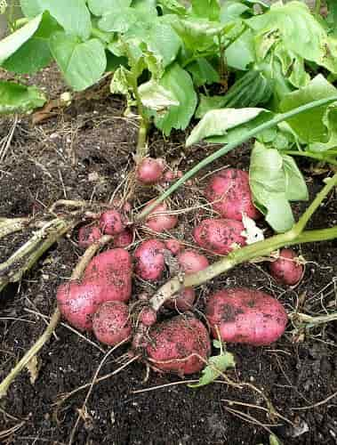 Red Potatoes with the Plants