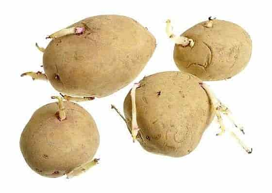 Potato protein - Potato Tubers with Developed Sprouts
