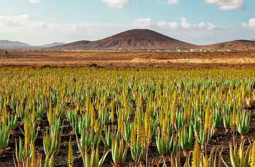 Aloe vera - Large-scale plantation of Aloe Vera with Blooming Plants