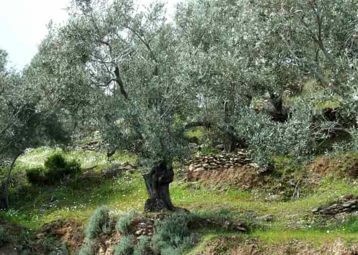 Special Education and Agricultural Training - An olive grove in Mytilene