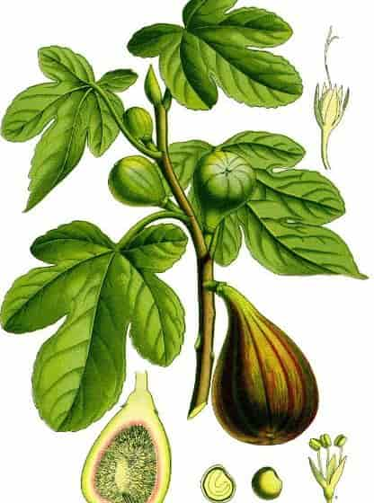 Use of Fig - Design Visualization Of Fig Plant Parts