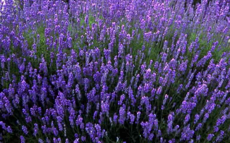 English Lavender varieties – Lavandula angustifolia 'Folgate'-1