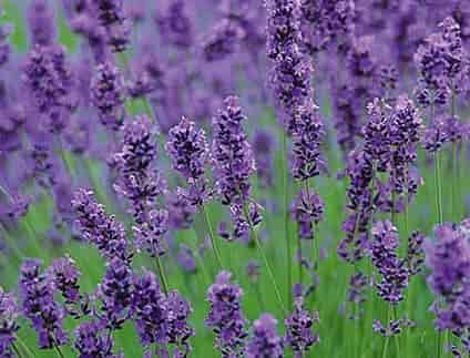 English Lavender varieties – Lavandula angustifolia 'Folgate'-2