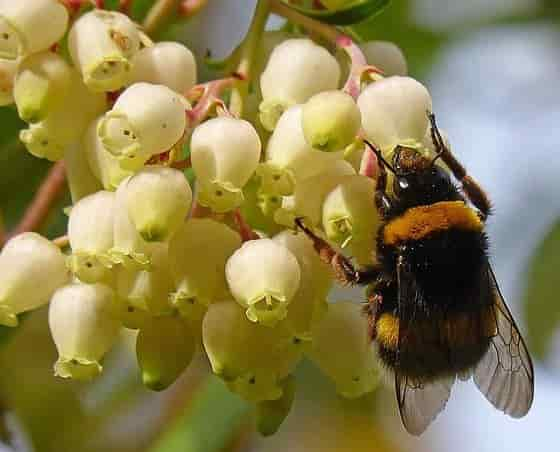 Strawberry Tree with Bee on Flowers