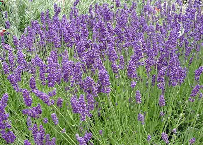 english lavender varieties lavandula angustifolia. Black Bedroom Furniture Sets. Home Design Ideas
