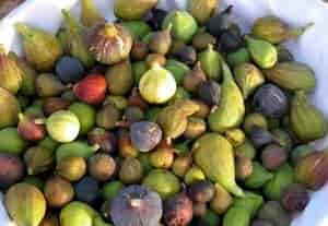 Use of Fig - Fresh Figs Of Different Varieties