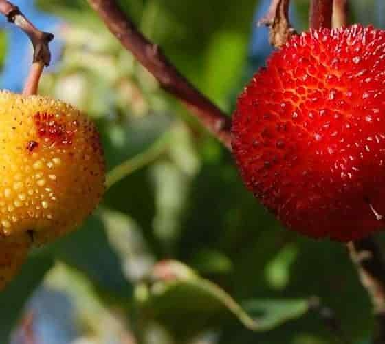 Immature and Mature Fruits of Strawberry Tree