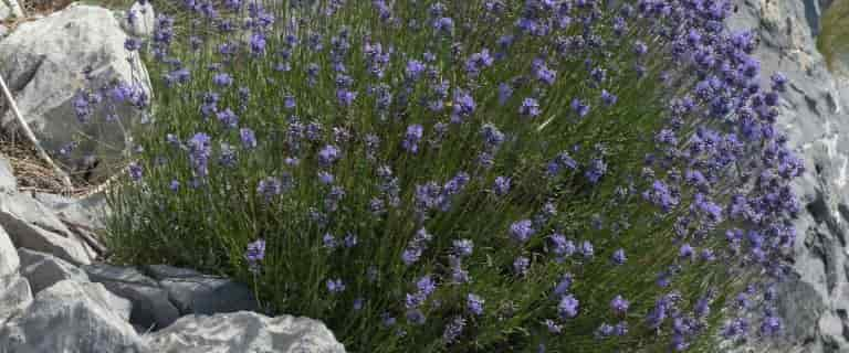 Native Plants of Lavandula angustifolia in Rocks Roofs