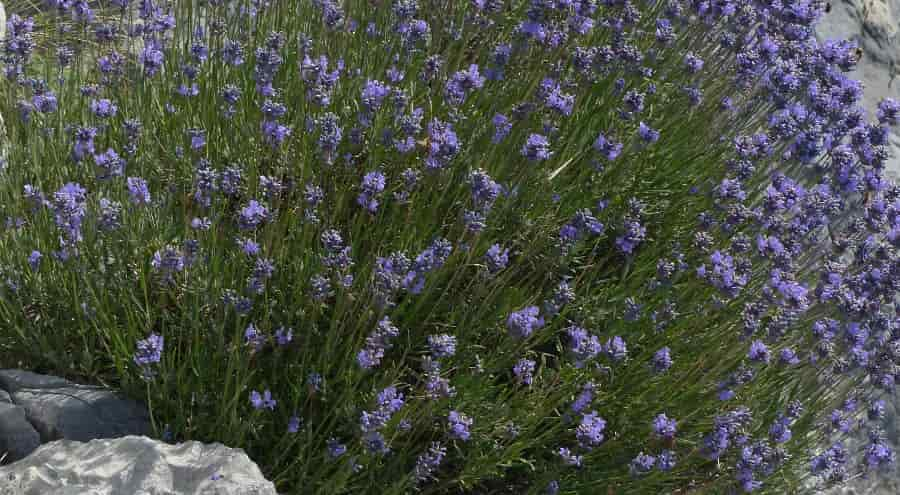 Native Plants of Lavandula angustifolia Inside Shapes of Rocks