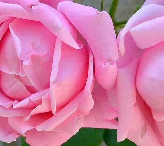 Rose classification - Roses of Old Garden