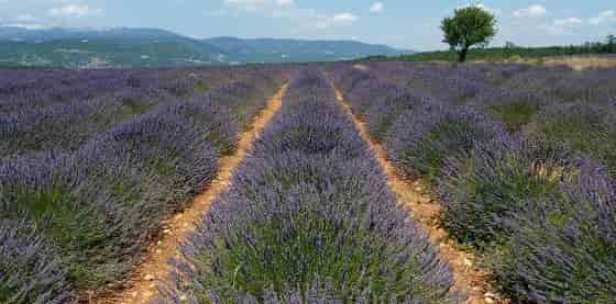 Growing of Lavandula angustifolia in Provence