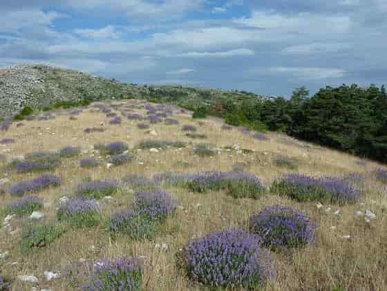 Natural habitat of Lavandula angustifolia