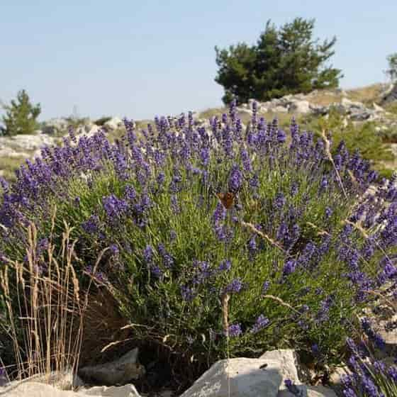 Native Shrub of Lavandula angustifolia