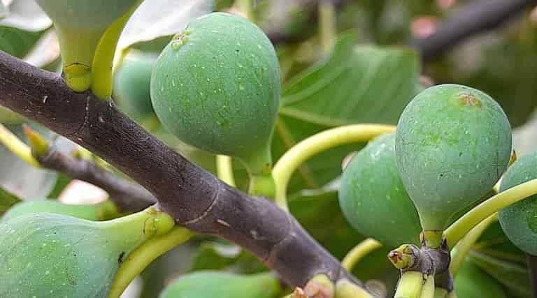 Use of Fig - Branch of Fig Tree Loaded with Figs