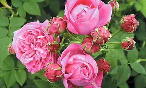 Guillot Fils, the History of Roses - Rose Variety 'Catherine Guillot' (1861)