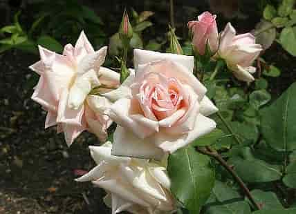 Guillot Fils, the History of Roses - Rose Variety 'Catherine Mermet' (1869)