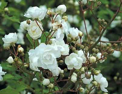 History of Roses - Rose Variety 'Paquerette' (1875)