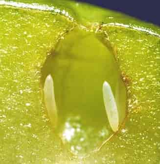 Ceratitis capitata Mediterranean Fruit Fly - Mediterranean Fruit Fly Eggs in an Apple