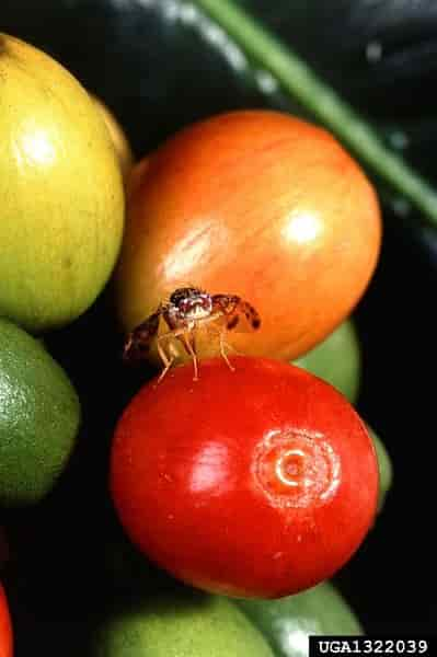 Ceratitis capitata Mediterranean Fruit Fly - Medfly Pumps Eggs Into Coffee Berry